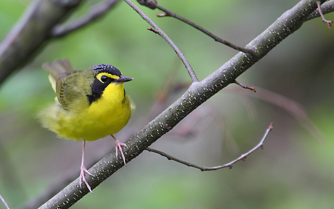 Warblers & Wildflowers April 29 & 30, 2016
