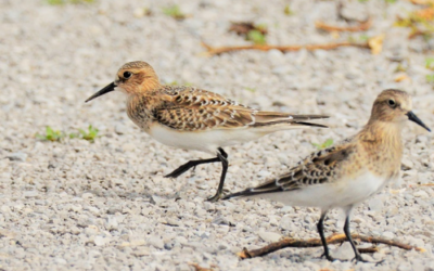 2019 Bird Walk – August 25th, September 1st and 8th – Findlay Reservoir